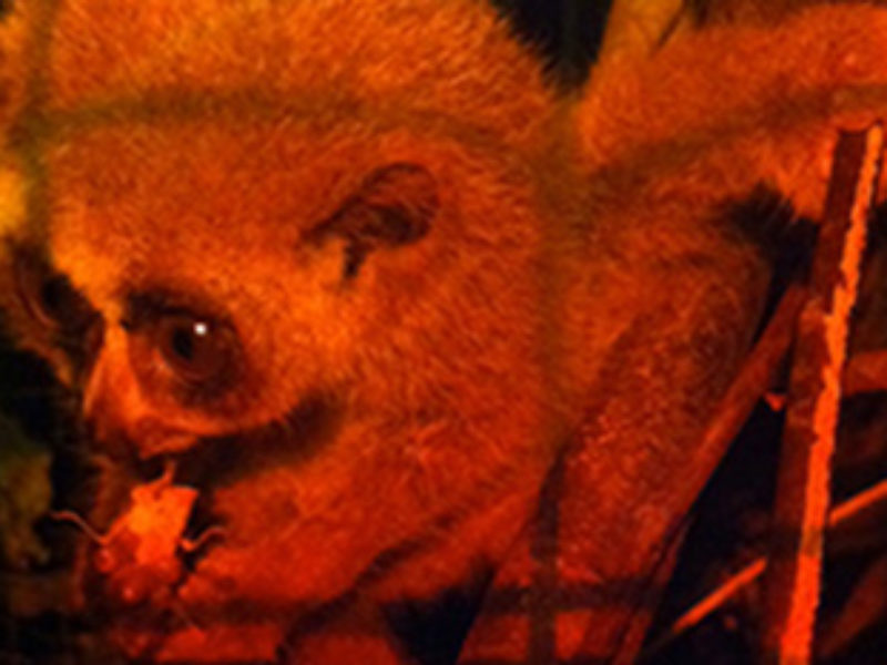 New pygmy loris… and update on infant Taite.