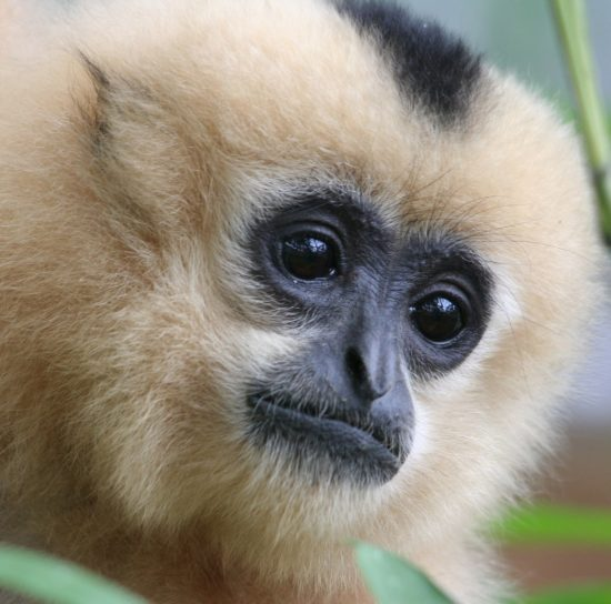 Sponsor a Gibbon - Corporate Sponsorship