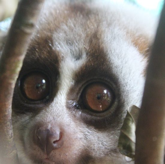 Sponsor a Pygmy Loris or Bengal Slow Loris - School Sponsorship
